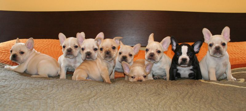 How Many French Bulldog Puppies In A Litter What The Frenchie