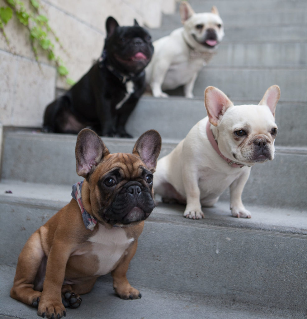5 Fun Facts About French Bulldogs What The Frenchie