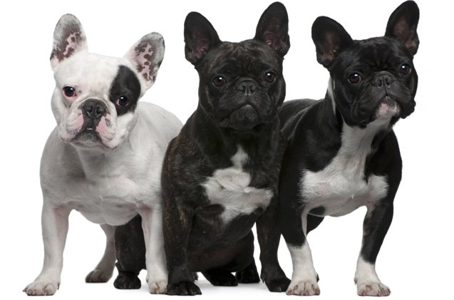 Top 3 Countries With The Most French Bulldogs What The