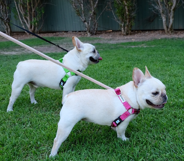frenchies in harnesses