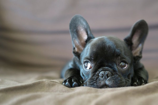 black frenchie puppy