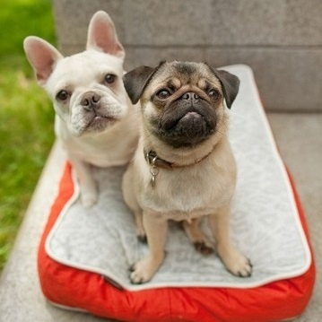 French Bulldog Vs Pug Face Off What The Frenchie
