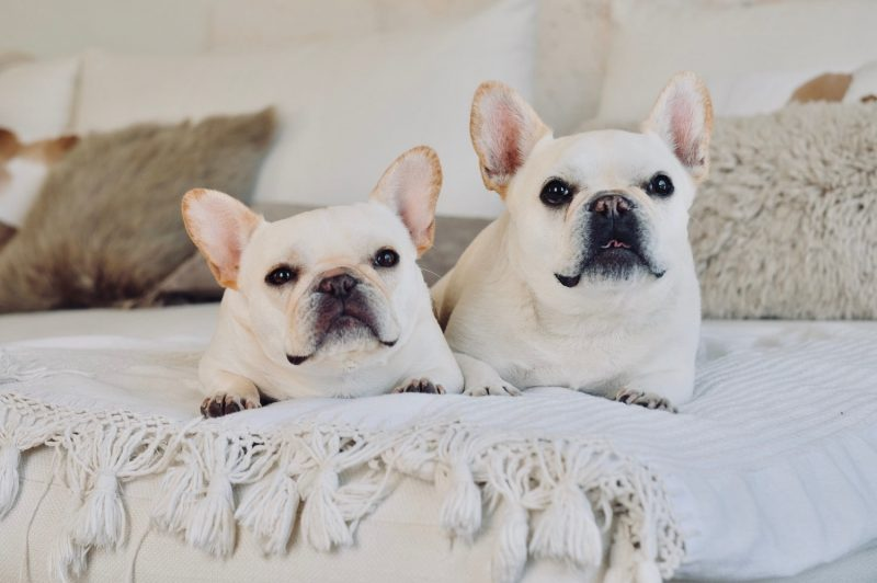French bulldog siblings