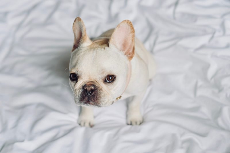French bulldog puppy eyes